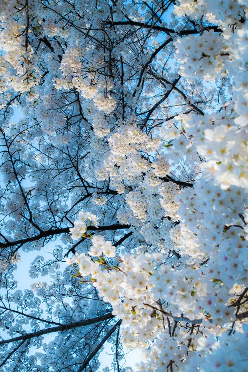 Most popular tags for this image include: flowers, white, spring, tree and nature