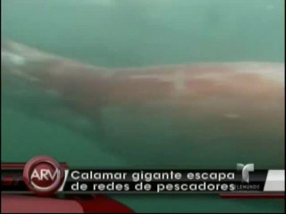 Captan En Cámara Un Calamar Gigante #Video