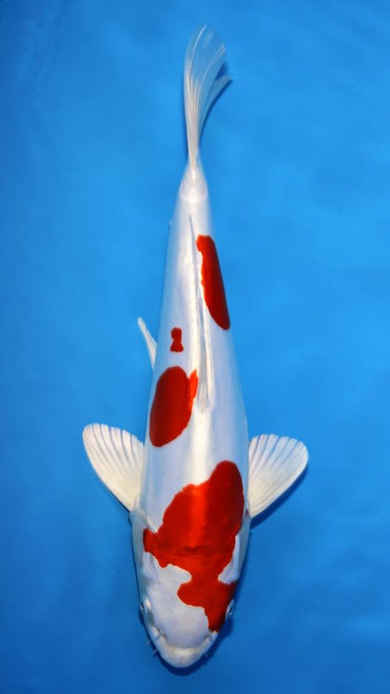 Koi names and babies on pinterest for Koi fish size
