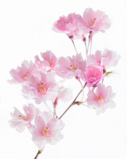 Cherry Blossom On A Cloudy Day Blossom Blossom Trees Flower Wallpaper
