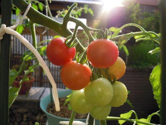 味が濃いミニトマトを作ろう トマトの栽培 トマト プランター