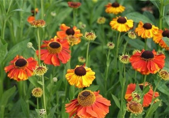 Helenium Sahin's Early Flowerer: