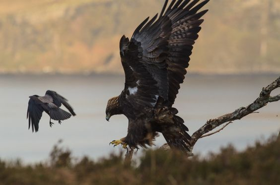 Golden Eagle (Aquila chrysaetos) & Hooded Crow West Highlands Scotland. Stewart Dawber: