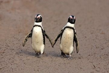 'Gay' Penguin Pair Adopts a Baby Chick in China http://is.gd/NujFNE