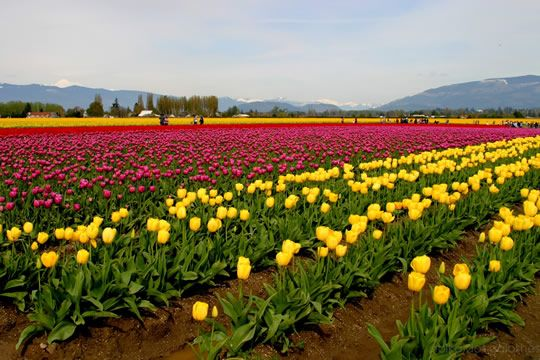Skagit Valley Tulip Festival - Washington. Skagit Valley Tulip Festival is held annually in April.