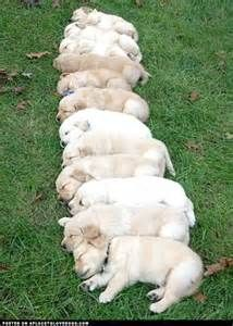 puppy litters - Yahoo Image Search Results