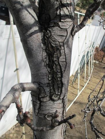 Fruit Tree Pruning at Its Best: Included Bark