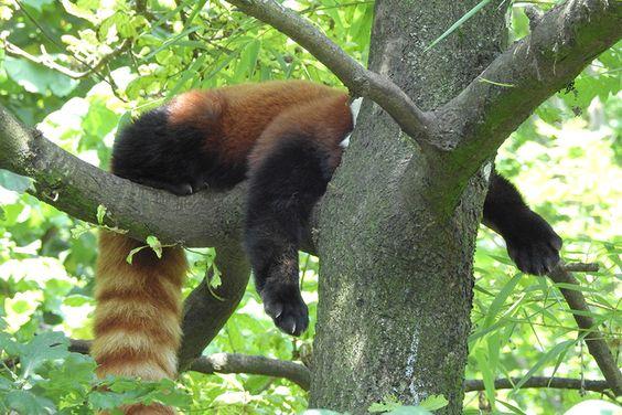 Ein fauler Roter Panda im Zoo Zürich.