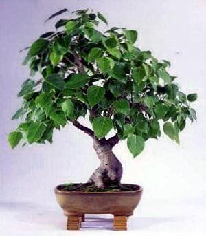 Amazoncom Sacred Buddha Fig Tree 10 SeedsSeed Ficus religiosa