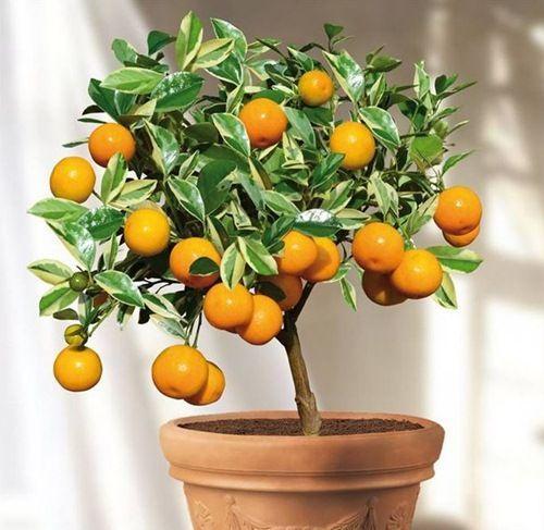 Image result for Cây họ cam quýt