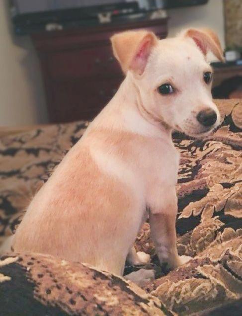 Chihuahua Dog For Adoption In Tucson Az Adn 744446 On
