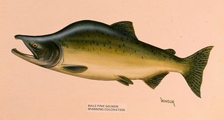 male_pink_salmon_spawning_colors.jpg