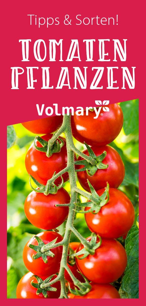 Tomaten Pflanzen In 2020 Tomaten Pflanzen Gemusegarten Tipps Pflanzen