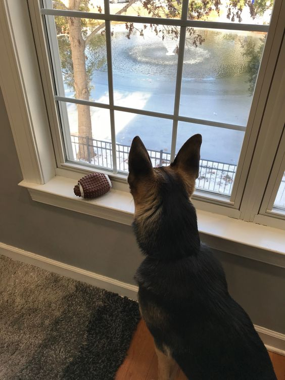 Klaus storing his toy on the window sill while observing the yard
