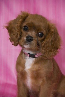 Ruby Cavalier King Charles Spaniel Puppy