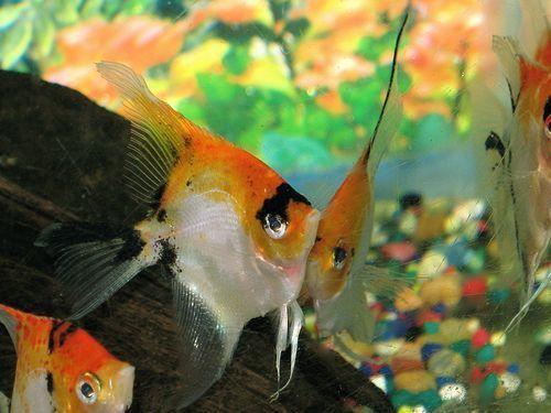 Red Head Koi Angelfish Size Angel Fish Fish Fish Breeding