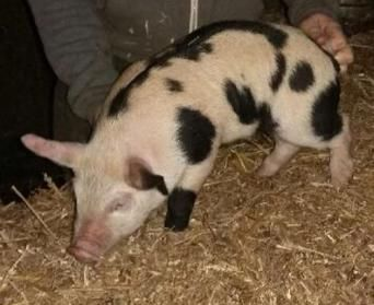 Preloved   pietrain pigs for sale for sale UK and Ireland