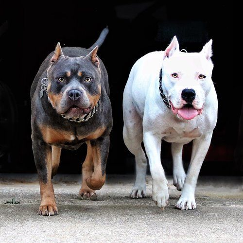 Blue Tri American Bully American Bully Bully Dog Xl Pitbull
