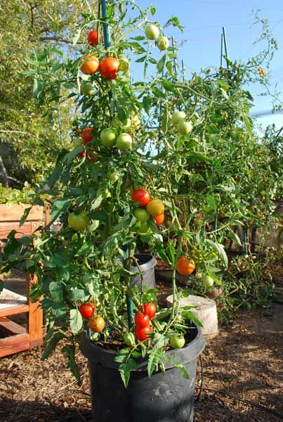 early girl tomato growing in a 15 gallon plastic pot container gardening pinterest. Black Bedroom Furniture Sets. Home Design Ideas