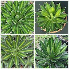 plantas agave lophantha,No semillas,plantas suculentas,plantas suculentasS