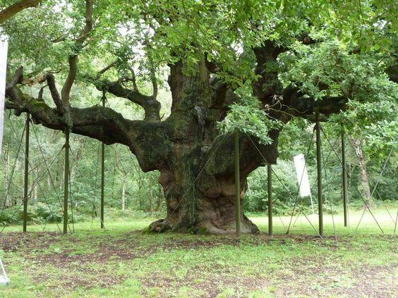 Le Major Oak est un chêne gigantesque situé au cœur de la forêt de Sherwood en Angleterre. - SCMB Images