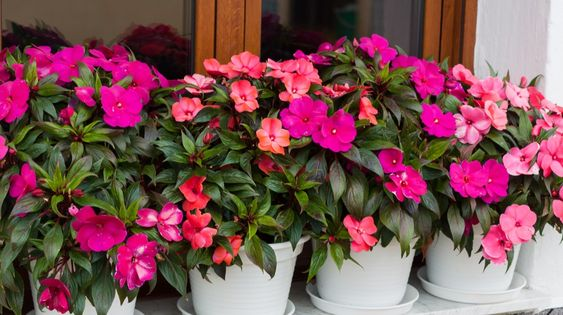 Growing Impatiens - How To Keep Impatiens Looking Great All Summer!