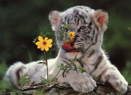 tigres - Buscar con Google