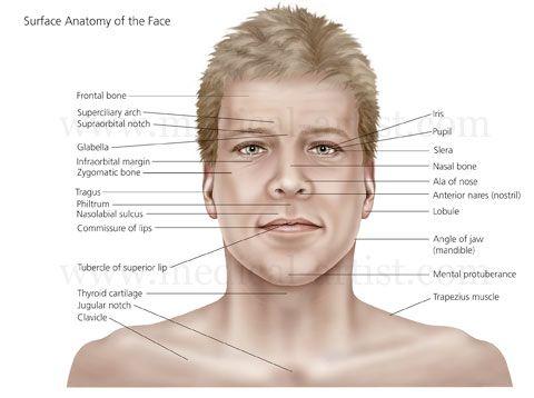 Human Side Face Anatomy http://www.medical-art...