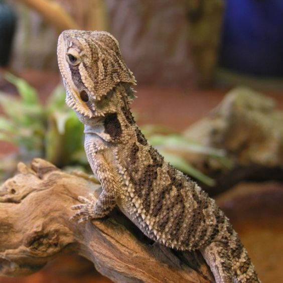 Pogona vitticeps - dragón barbudo común