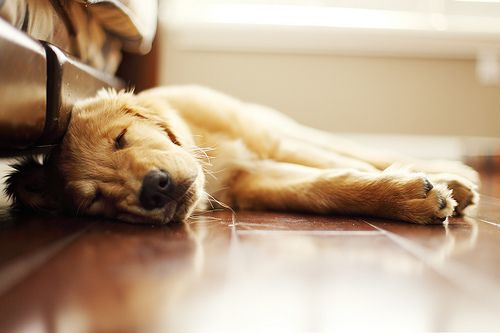 sleepy: Sleeping Dogs, Nap Time, Sweet Animals, Golden Naps, Golden Retrievers, Sleepy Puppy, Doggie Nap, Golden Puppy