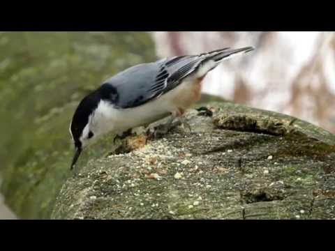 Downy Woodpecker- Pic mineur & White-breasted Nuthatch- Sittelle à poitrine blanche - YouTube