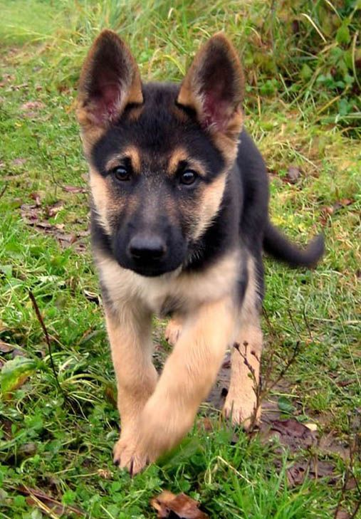 German Shepherd Puppies Check out all kinds of cool dog stuff