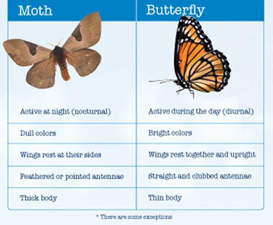 Comparison between Butterflies and Moths. Read more fun information on butterflies and moths here: http://easyscienceforkids.com/all-about-butterflies-and-moths/