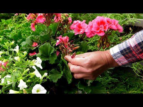 Jak Dbac O Rosliny Balkonowe W Czasie Deszczowych Dni Czy Obrywac Przekwitniete Kwiaty Youtube