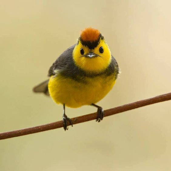 Collared Redstart (Myioborus torquatus) is a tropical New World warbler endemic to the mountains of Costa Rica and western Panama.