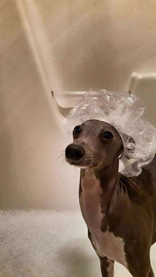 Asher The Italian Greyhound Getting Clean For The Holiday Weekend