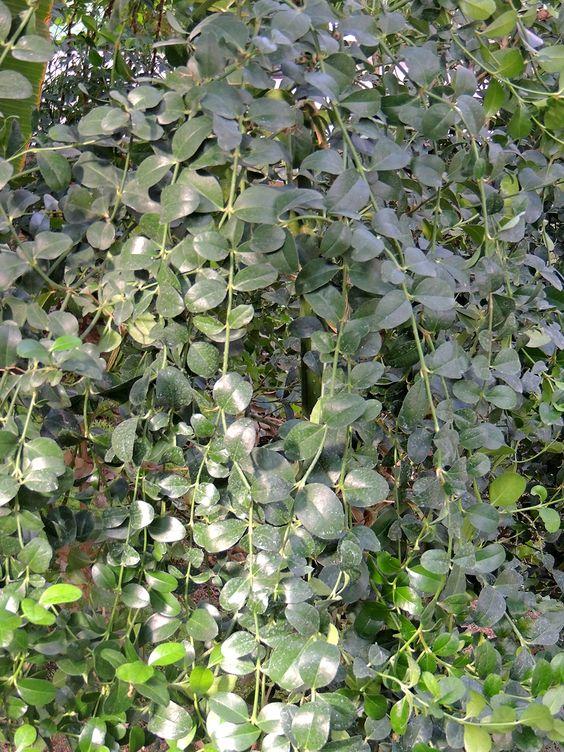 Syzygium paniculatum (Eugenia myrtifolia). http://www.elhogarnatural.com/Arboles.htm