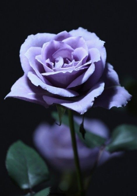 Applause, the world's first blue rose, although I have Blue Moon, not a true blue but a liac/blue with the most heavenly scent. Tokyo+Hosts+Annual+Flower+Expo+3nELmw0ZOqXl-e1316249824336: