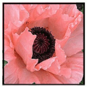 Princess Victoria   Poppy (sun)- blooms may-june