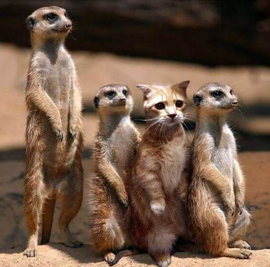 Meercats and cute kitten