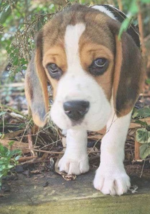 Olde English Pocket Beagle Puppies Pocket Beagle Puppies Beagle