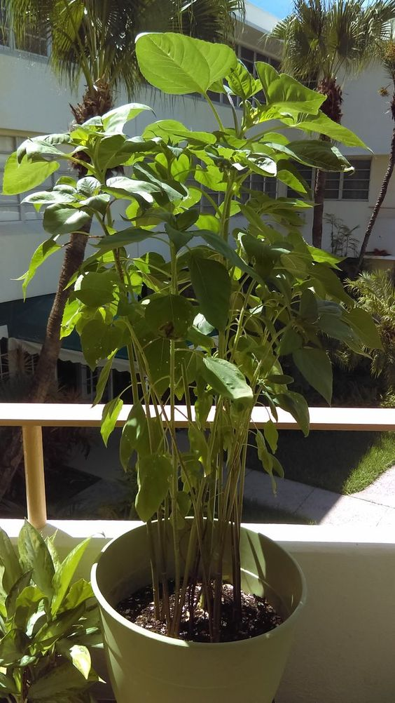 How To Grow A Sunflower In A Pot Growing Sunflowers Growing Seeds Container Plants