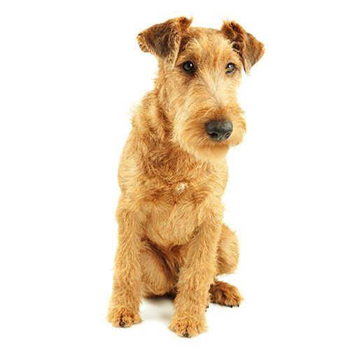 Irish Terrier See Description And Pictures Of This Dog Breed Dogsuniverse Co Nz Irish Terrier Irish Dog Terrier Dog Breeds