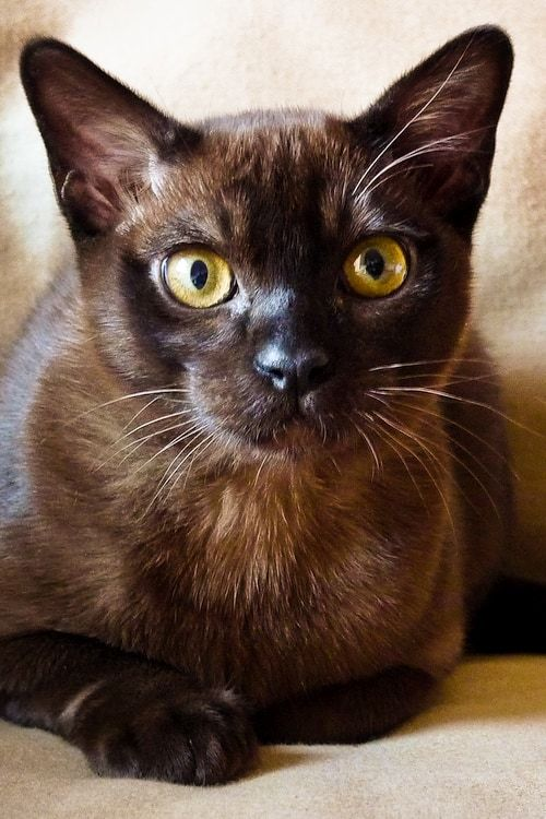 Burmese Cat Breed Burmese Cat Cat Breeds Burmese Kittens