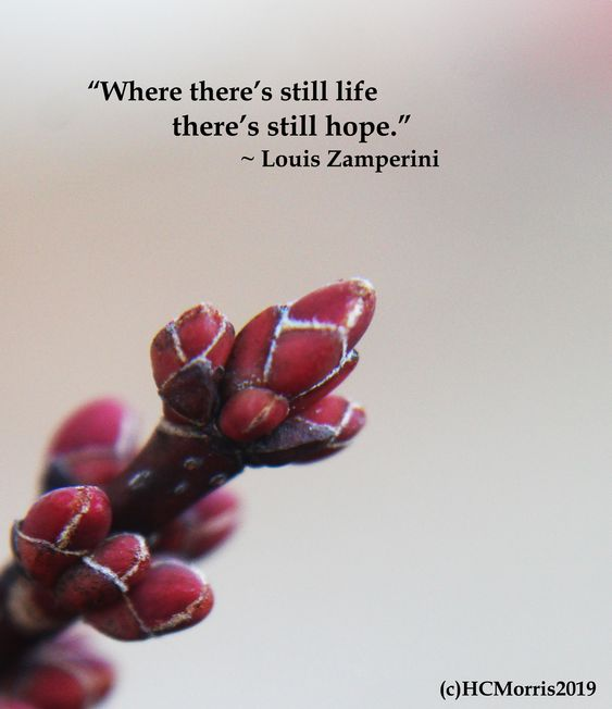 red maple buds with Louis Zamperini quote