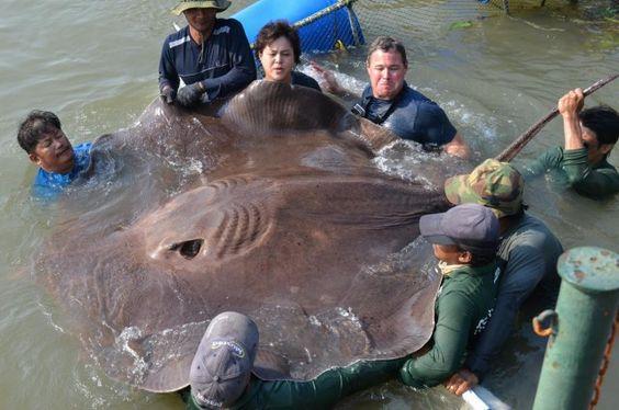 Águas da Vida: Cientistas descobrem o maior peixe de água doce do...