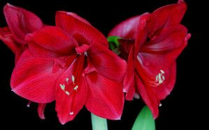 Download Amaryllis Blossoms HD & FREE Wallpaper from our High Definition resolution ready to set your computer, laptop, smartphone. Enjoy our Amaryllis Blossoms New Wallpaper.