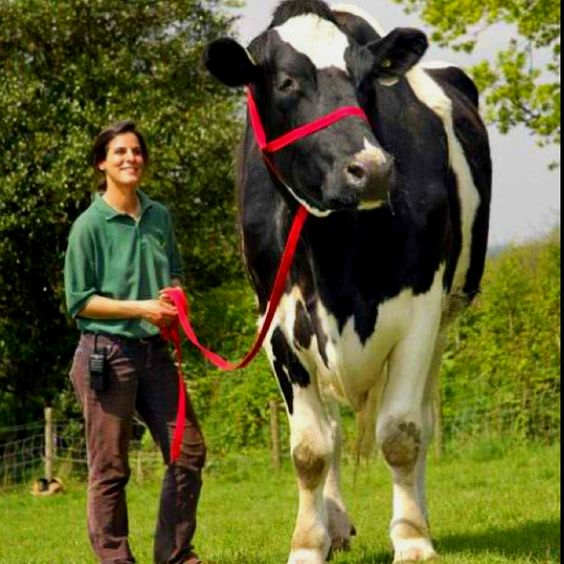 Chilli the Bull: biggest Holstein in the World