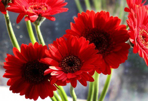 How To Care For The Gerbera Daisy Types Of Flowers Most Popular Flowers Popular Flowers