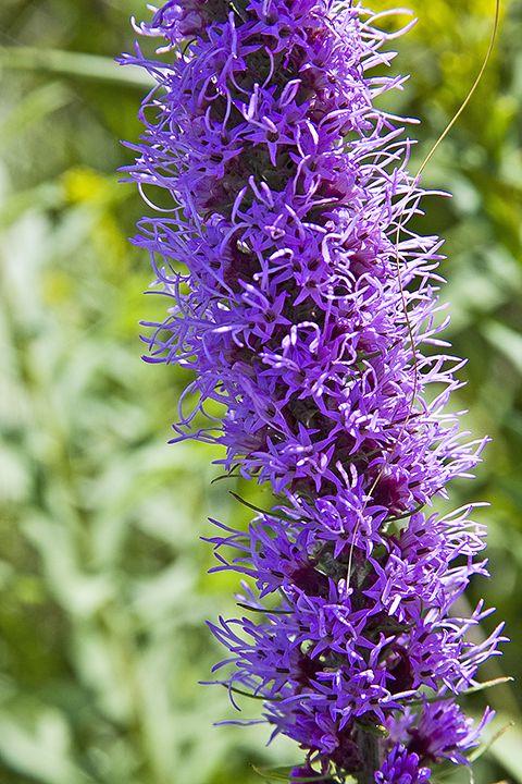 Cool Liatris pycnostachya Botanischer Garten der Universit t W rzburg Liatris pycnostachya prairie blazing star is an ornamental plant native u